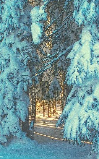 Forest Walk, Grand Mesa, Colorado