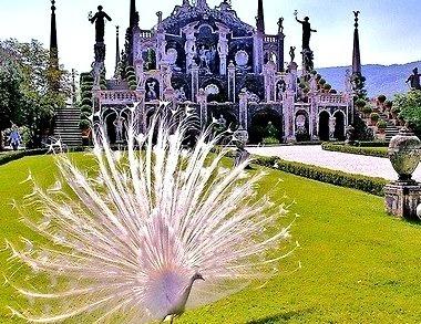 White Peacock, Tuscany,  Italy