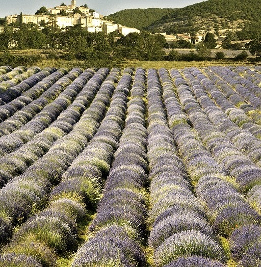Lavander field in Simiane-la-Rotonde, Provence, France