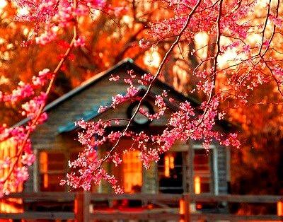 Cherry Blossoms, Richmond, Virginia