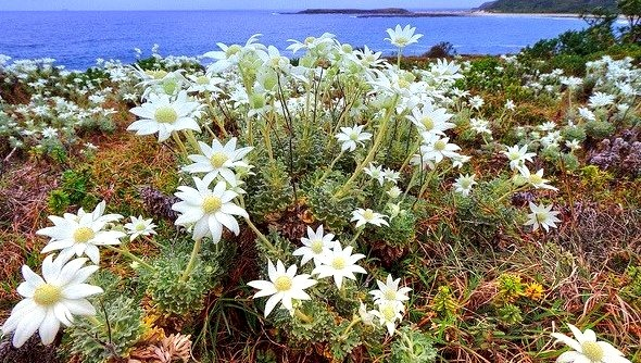 Coastal flannel flowers on Catherine Hill Bay, New South Wales, Australia