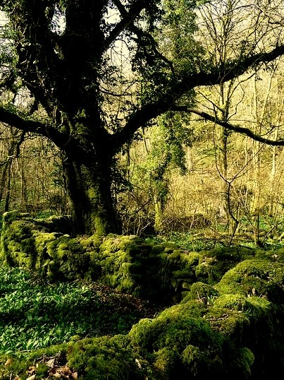 Ancient mossy wall in the forest, Somerset, England