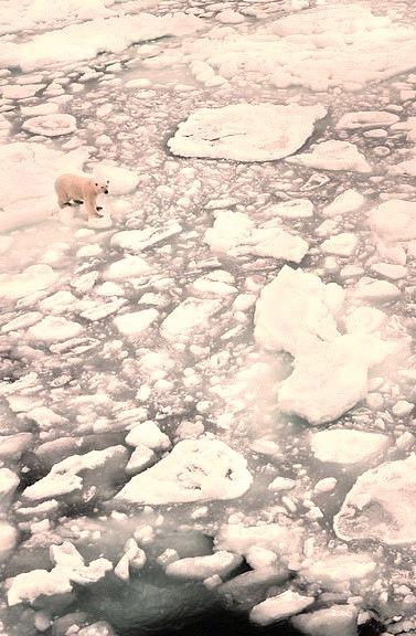 Polar bear on ice, Svalbard Archipelago, Norway