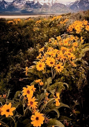Balsamroot flowers blooming in the valley, Grand Teton National Park, USA
